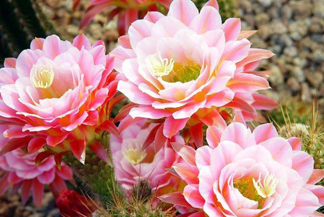 371628xcitefun-blooming-cacti-2