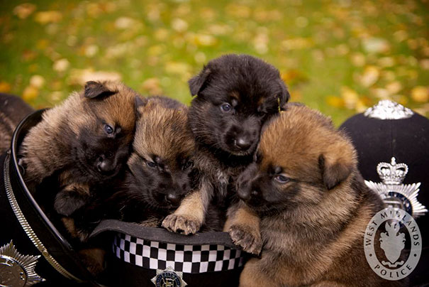 A new 'R' litter of German Shepherd pups born to mother Cassie. Their names are to be given by a competition in conjunction with the Kennel Club.